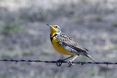 99 best images about STATE BIRD AND FLOWER on Pinterest ...