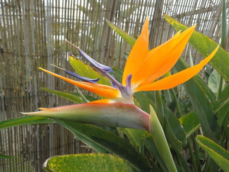 Les 25 meilleures id es de la cat gorie oiseau du paradis for Plante synonyme
