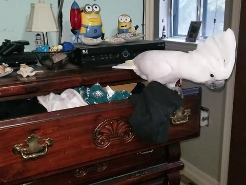 Onni the adorable baby cockatoo surprised his owner by helping with the laundry. But then what happened next was not such a welcome surprise.