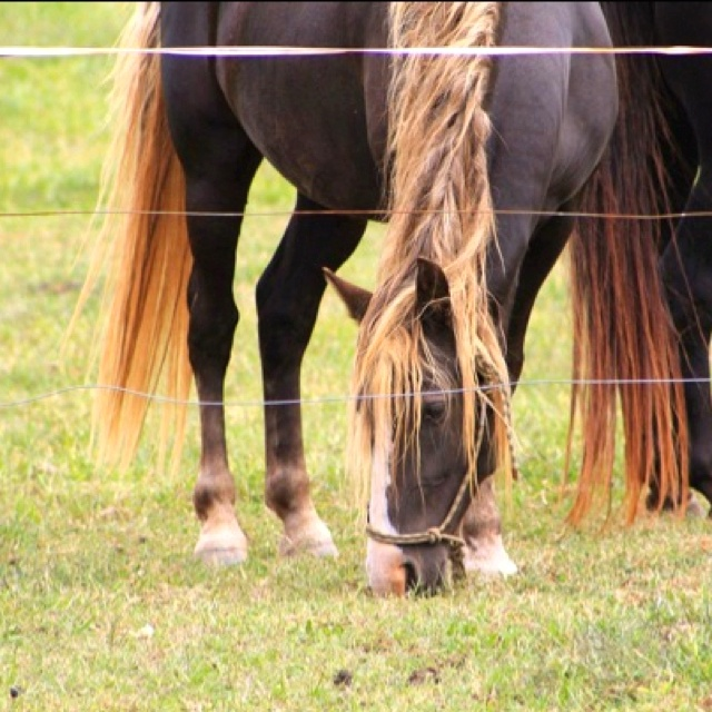 Liver Chestnut Horse With Flaxen Mane And Tail - photo#13