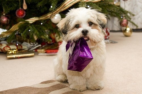 rrrrufffDogs Pics, Dogs Cat, Pets, Safety Tips, Christmas, Shih Tzu, Lhasa Apso, Happy Holiday, Animal