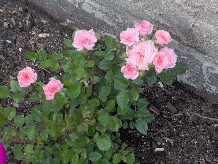 32 best images about miniature roses on pinterest office - Rosier miniature exterieur ...