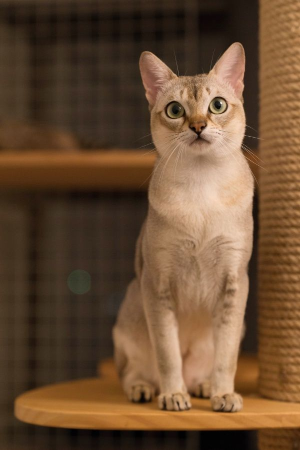 10 Breeds Of Cat With Big Eyes That Put Manga Faces To
