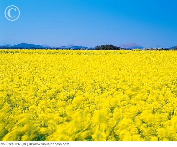 46 best walking among the flower fields yellow orange images on yellow flower fields mightylinksfo Images