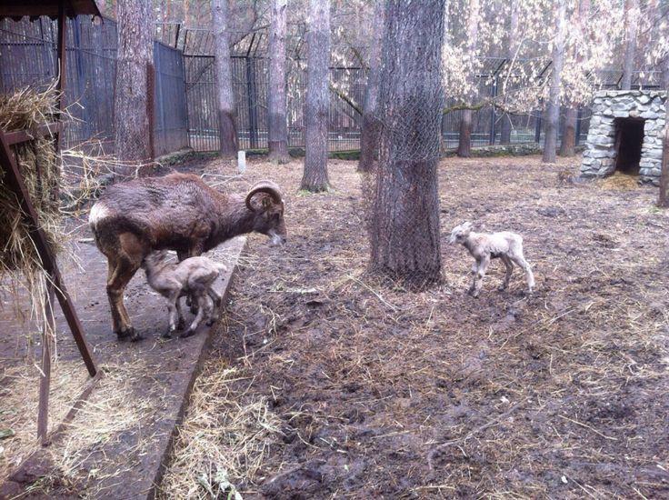 У архаров в Новосибирском зоопарке родилась двойня - http://zoovestnik.ru/2015/04/17741/