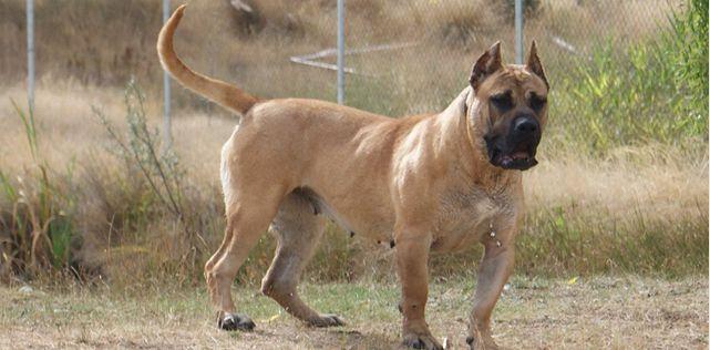 Presa Canario  Puppies  Hunde Tiere