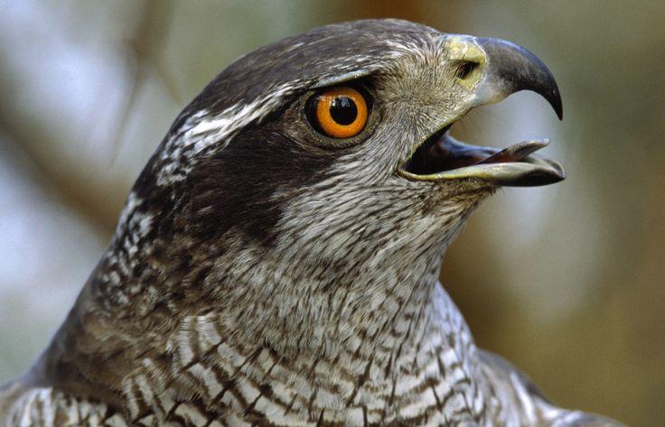 Pássaro com os olhos vermelhos