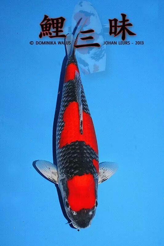 17 best images about koi on pinterest japanese koi fish for Goshiki koi fish for sale