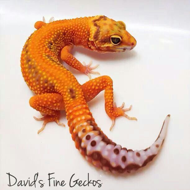 Images of Baby Fancy Leopard Gecko - #rock-cafe