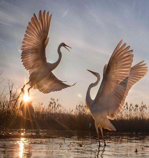 В камышах, у тихой речки...там где плещется заря..распахнули крылья птицы...рвутся в небо, чуть дыша...свет любви, им сердце греет...будоражит в них мечты...души их переплетает, он дыханием весны...эту радость им не спрятать...она в трепете очей...в этом