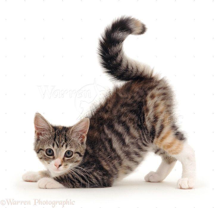 Striped tabby or mackerel tortoiseshell-tabby kitten pouncing,