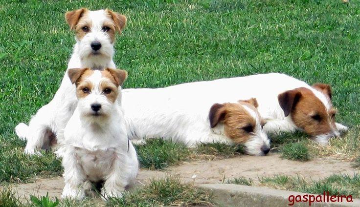 ¿Cuántos propietarios de un Jack Russell Terrier, incluso aquellos que se han informado cuidadosamente, son tan esclavos de sus necesid...
