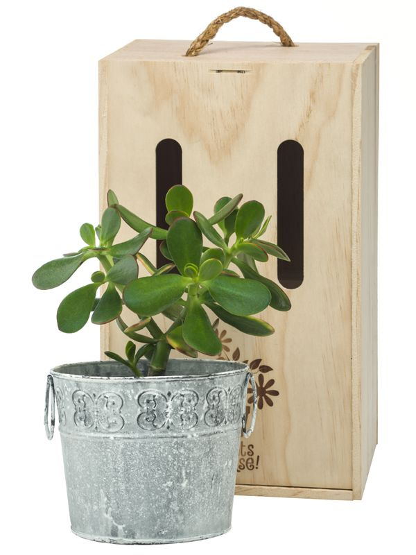 Jade plant in decorative tin pot by Plants Please! beautifully boxed and delivered within NZ