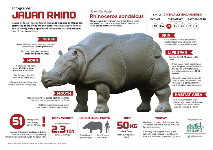 Javan Rhinos are the most threatened of the five rhino species, #Infographic #Animal