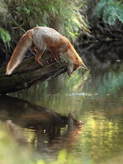 Fox,looking at his reflection