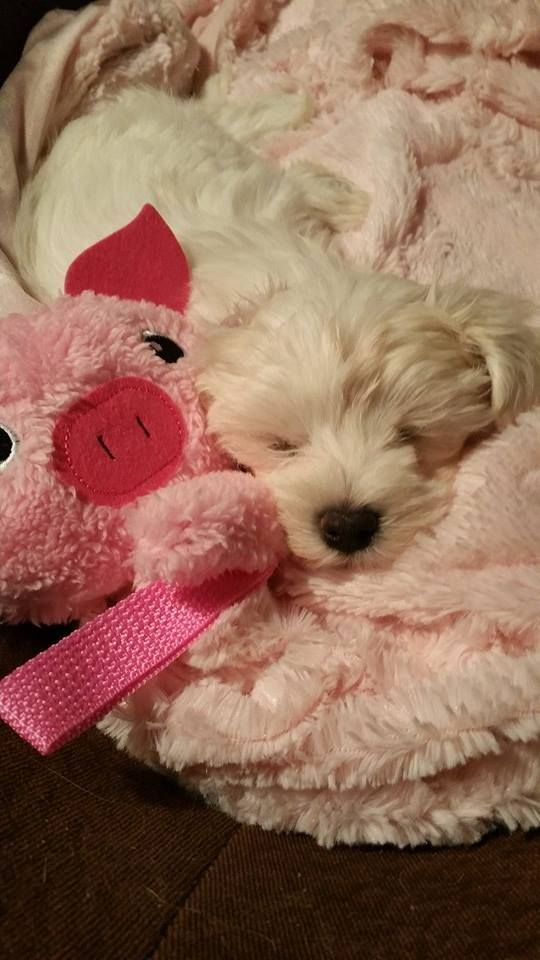 7-week old Ava the snoozing Maltese puppy