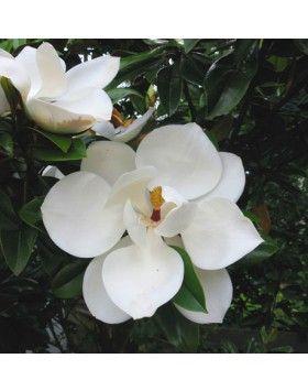 Magnolia grandiflora 'Ferruginea' – Örökzöld liliomfa