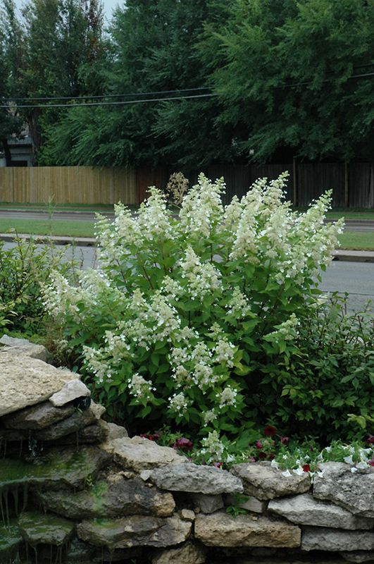Click to view full-size photo of Little Quick Fire Hydrangea (Hydrangea paniculata 'SMHPLQF') at Bachman's Landscaping