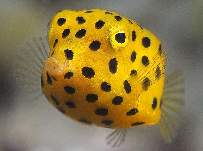 Yellow Boxfish Is One Of The Weirdest Fish In The World