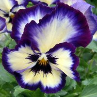 'WonderFall' Pansies with their spilling and flowing growth habit were stunning in containers. Two new colors were 'Blue Picottee Shades' and 'Rose Shade with Faces.'  www.calloways.com