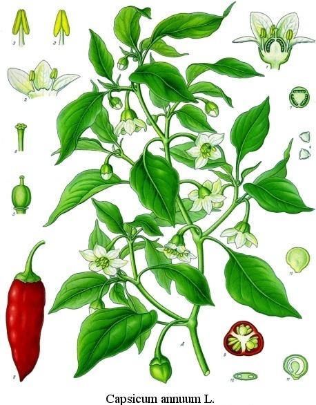 capsicum annuum (common name: cayenne) [fr: piment ou poivre de cayenne]