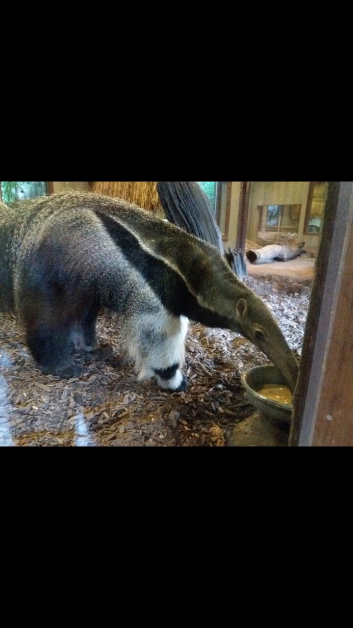 Colchester zoo  Anteater