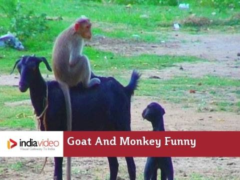 Goat And Monkey Funny Video | India Video. Aww poor goat.