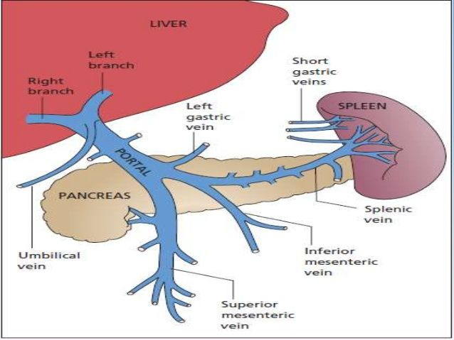 Imagini Pentru Portal Vein Anatomy Eco Pinterest Portal And