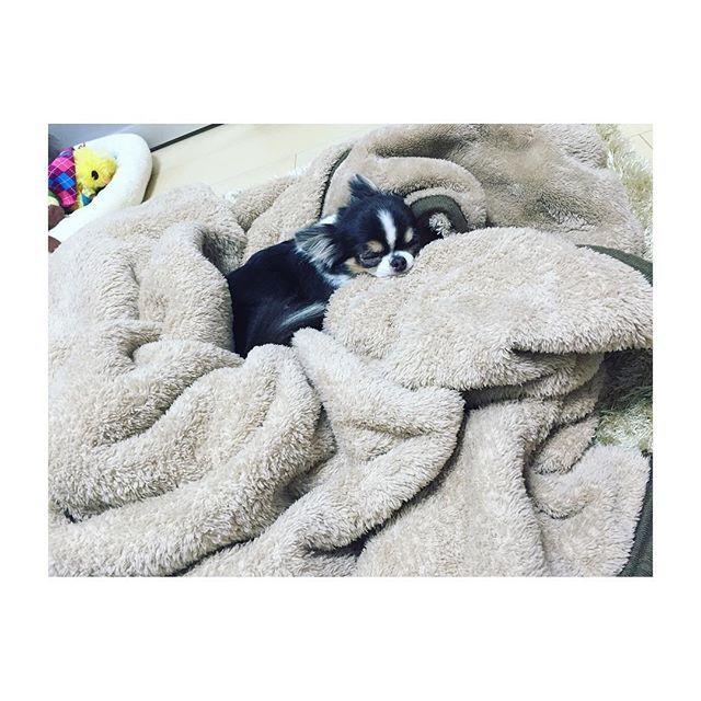 この寝顔に癒される…❤︎ #チワワ#チワワ部#犬#dog#5歳#1kg#ティーカップチワワ#ブルータンホワイト#極小#愛犬#親バカ#可愛い#いぬらぶ部#癒し#癒される#寝顔#おやすみ#おやすみなさい#goodnight