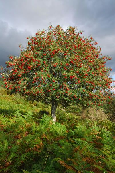 Rowan trees are said to protect against bad spirits. It was used in butter churns so that the butter would not be overlooked by Faeries. Bewitched horses may be controlled by a rowan whip. Druids used rowan wood for fires with which they called up spirits whom could be forced to answer questions when rowan berries were spread over the flayed hides of bulls.