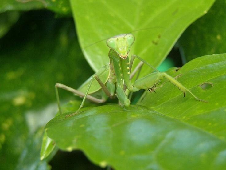 カマキリ(螳螂、蟷螂)は、昆虫綱カマキリ目(蟷螂目、学名: Mantodea)に分類される昆虫の総称。前脚が鎌状に変化し、他の小動物を捕食する肉食性の昆虫。
