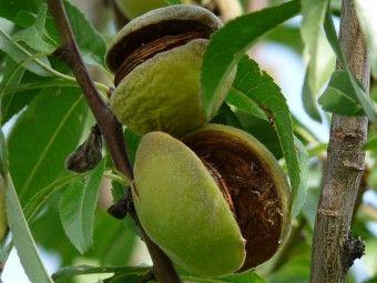 Prunus dulcis 'Robijn' (Amandel)   Prunus dulcis Robijn. Amandel, Vroeg bloeiend met opvallend roze bloesem. Grote noten in trossen. Zelf bestuivend. Houd van een warme plaats.