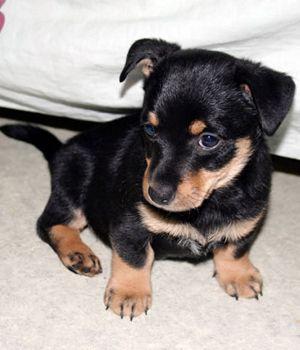 Lancashire Heeler breed info,Pictures,Characteristics,Hypoallergenic:No