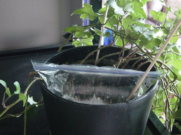 DIY Baggie + Wick system for watering your plants while you're away...