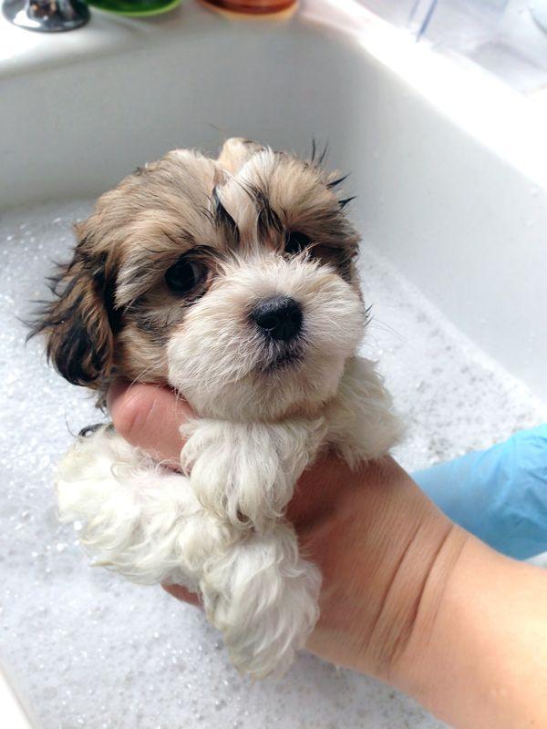 Gorgeous Havaton Puppy Havanese Coton De Tulear Hybrid