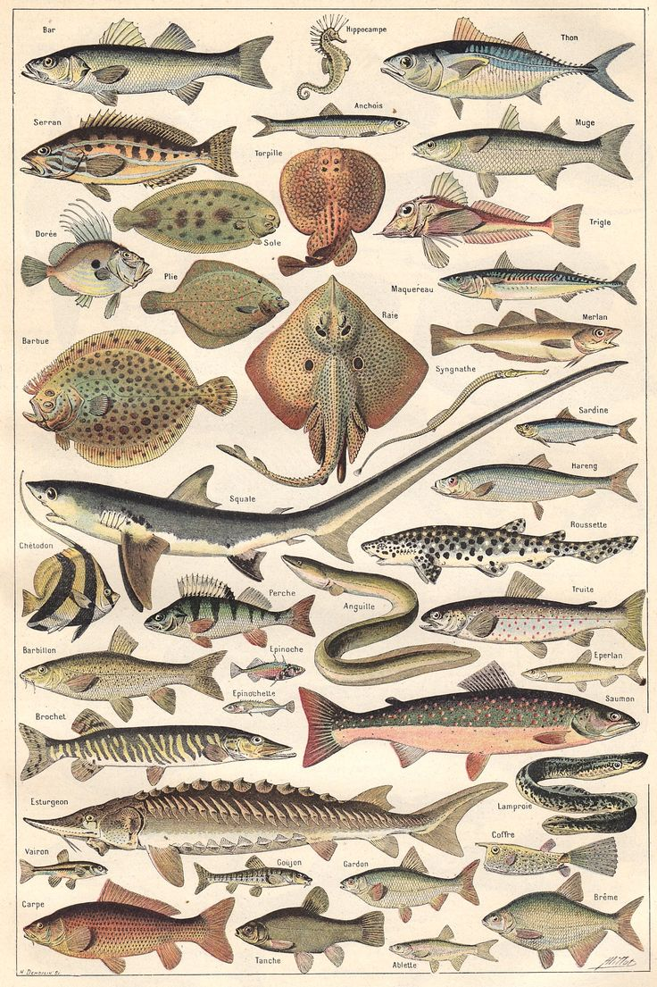 Bedroom english french dictionary wordreference com - Animal Fishes From A 1922 Volume Of The French Dictionary Nouveau Larousse Universel