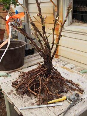 Pied de pivoine arbustive prêt à être transplanté. Crédit photo: F. D. Richards sous licence Creative commons.