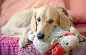 The food doggers: La pseudogravidanza nella cagna