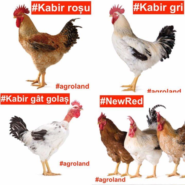 PROMOTIE! Puii de o zi KABIR si New Red se livreaza miercuri la pretul de 25 lei! Profita acum de OCAZIE si achizitioneaza 2 din cele mai cerute categorii de pui de o zi! Adrese magazine aici: http://ift.tt/2bUSkMx #agroland #puideozi #kabir #newred