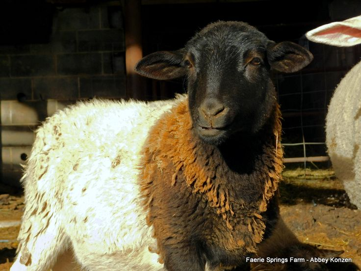 Hair Sheep Breeds The Right Choice for You (With images)