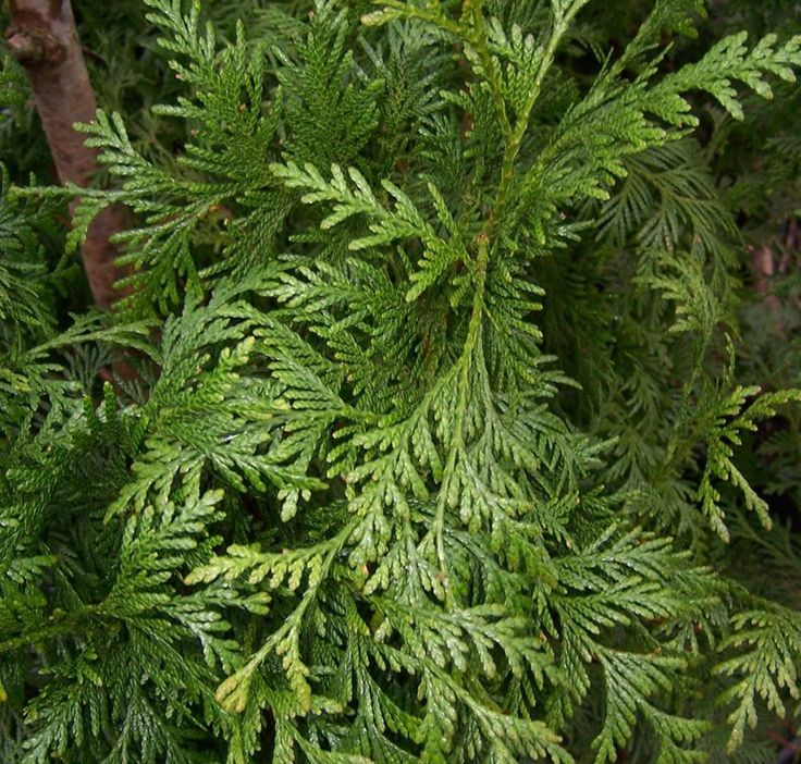 Buy Thuja occidentalis Brabant online from Jacksons Nurseries.