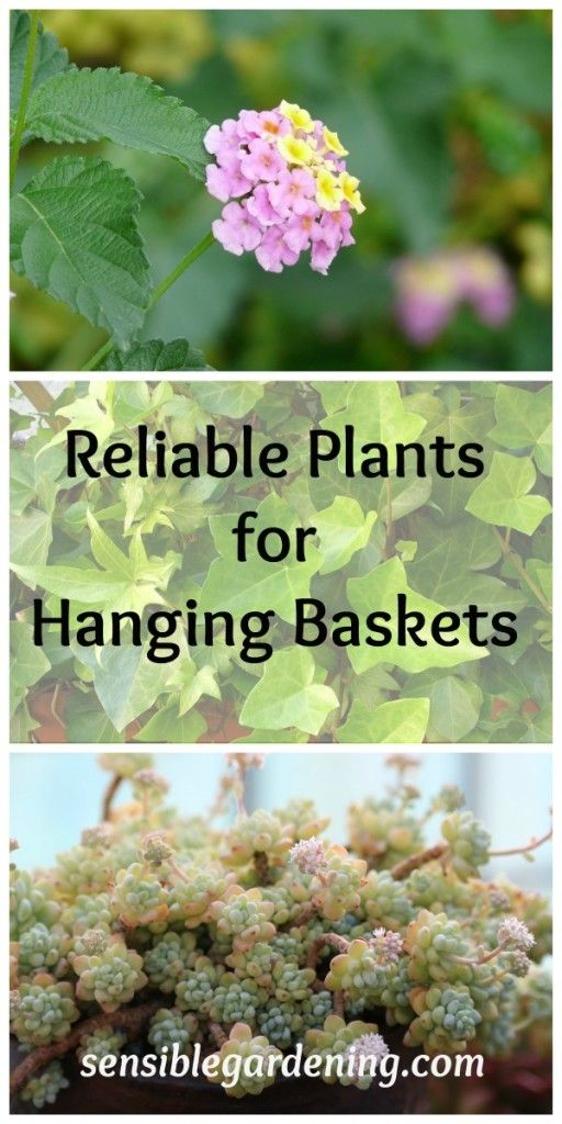 Reliable Plants for Hanging Baskets with Sensible Gardening. Best plants to grow in hanging baskets.