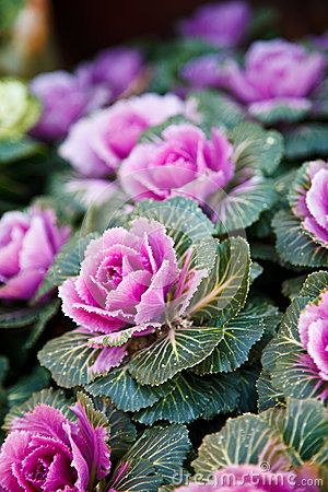 ornamental kale - rose like