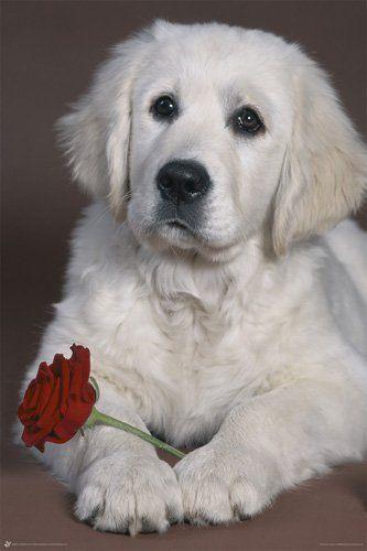 Hond met rode roos - Poster. Laat dit schattige hondje jouw Valentijn een roos geven!