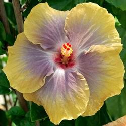 Hibiscus 'Sea Of Tranquility'