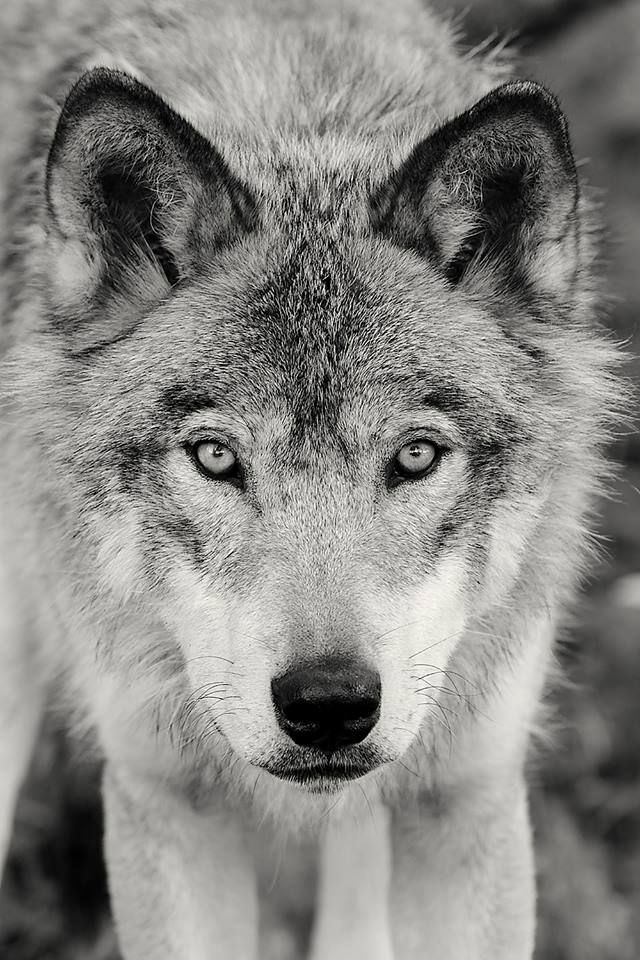 Such a beautiful and majestic member of our animal kingdom - SAVE THE WOLVES