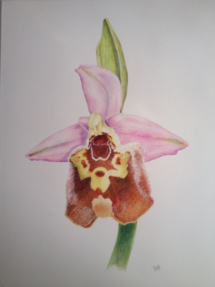 Bishop's orchid