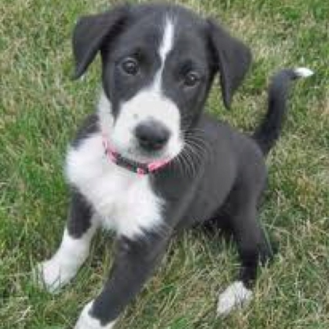 The dog i want!! A Border collie/Boxer mix! love