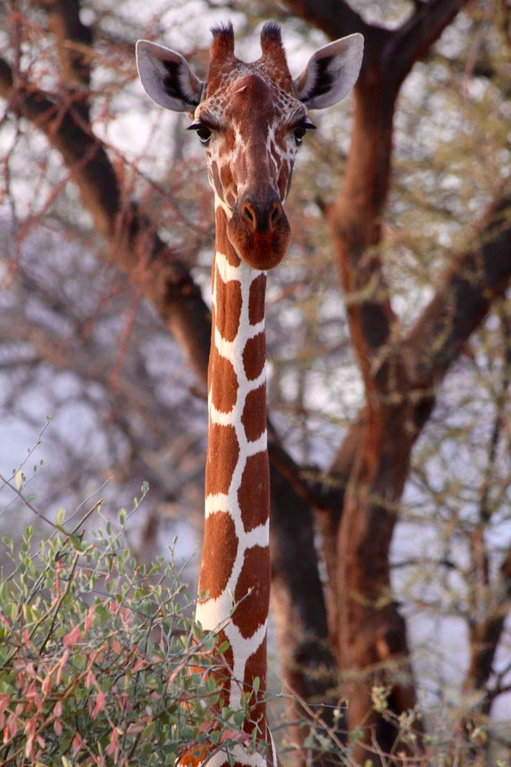 Giraffes are in trouble. Collectively for all four giraffe species, it's estimated that they've declined by about 40 percent in just the past few decades. They are already extinct in seven African countries. Learn more on Zoonooz.
