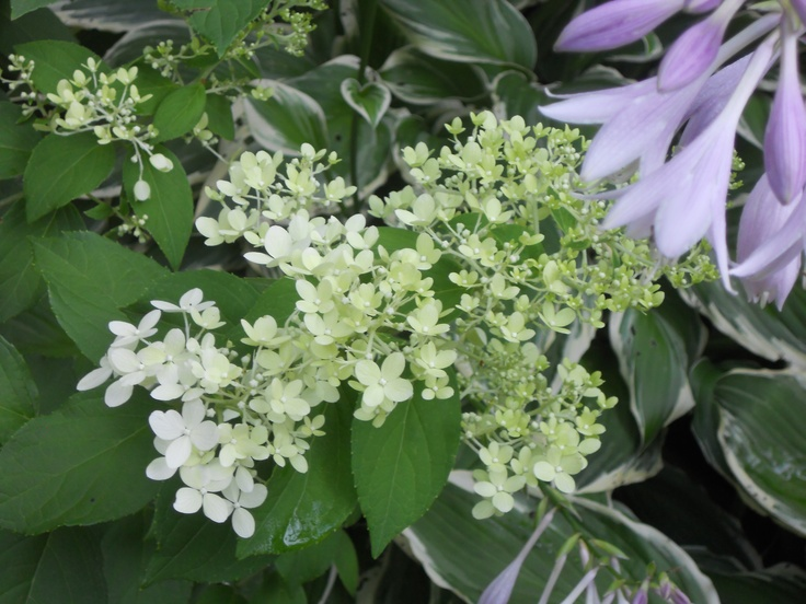 Limelight hydrangea and hosta flowers (foreground)